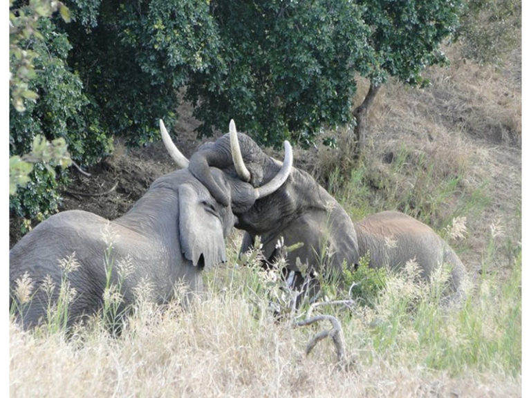 Kruger park elephants_b